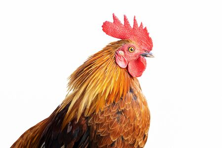 Closeup of colorful roosters head shot isolated on white background 스톡 콘텐츠