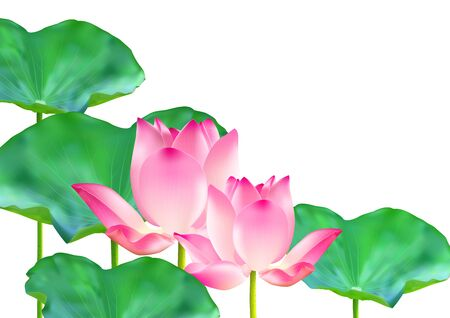 Blooming pink lotus flowers with green leaves on white background vector illustration