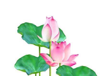 Blooming and bud pink lotus flowers with green leaves on white background vector illustration 일러스트