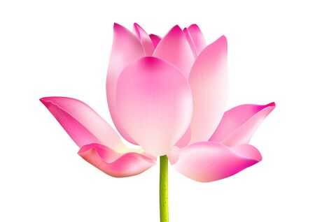 Blooming pink lotus flower on white background vector illustration