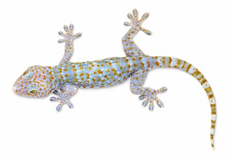 Colorful gecko isolated on white background