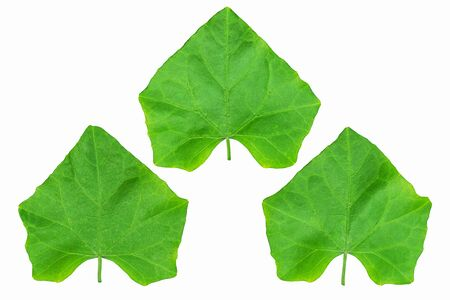 Fresh green coccinia or lvy gourd leaves isolated on white background with clipping path
