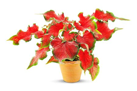 Red caladium in clay pot isolated on white background Stock fotó