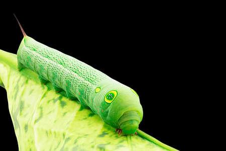 Macro of green caterpillar eating leaf on black background