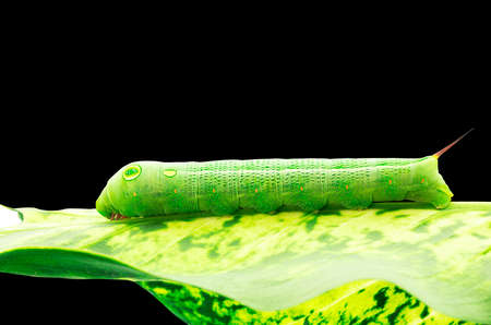 Macro of green caterpillar eating leaf on black background Foto de archivo - 151367255