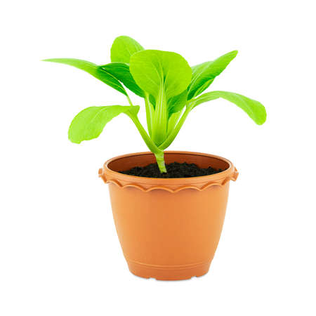 Fresh green seedling lettuce in flower pot isolated on white background Stock fotó - 152342698