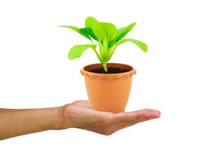 Hand holding fresh green seedling lettuce in flower pot on white background