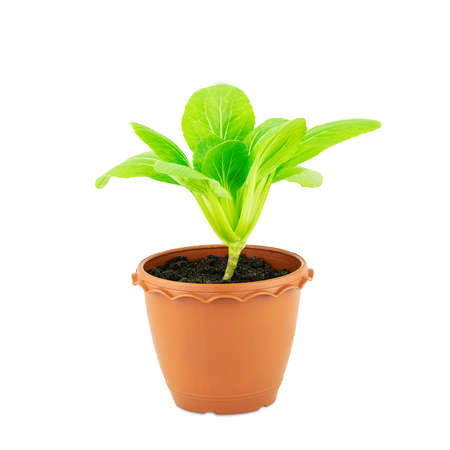 Fresh green seedling lettuce in flower pot isolated on white background Standard-Bild - 152342749