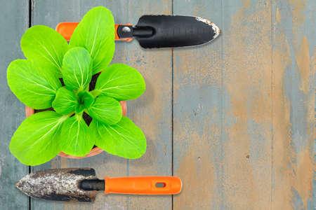 Lettuce in pot with old rusty grunge metal gardening shovels on vintage grunge gray wooden background Stock fotó