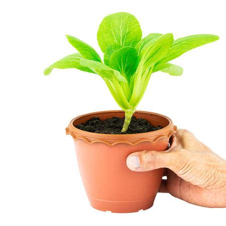Hand holding pot of green vegetable lettuce on white background