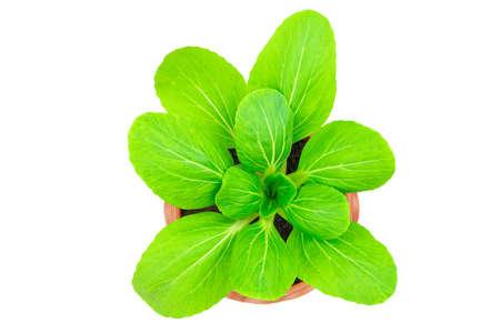 Fresh green lettuce in flower pot on white background Standard-Bild