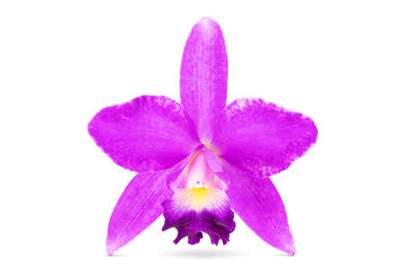 Fresh Thai pink orchid hybrid Cattleya isolated on white background with clipping path