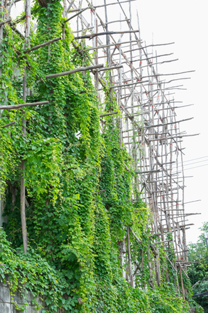 scaffolder: Scaffolding day old vine