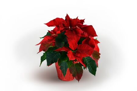 d       cor: Red and Green Poinsettia plant on White Background Stock Photo