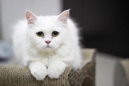 persian cat: White Persian Cat.