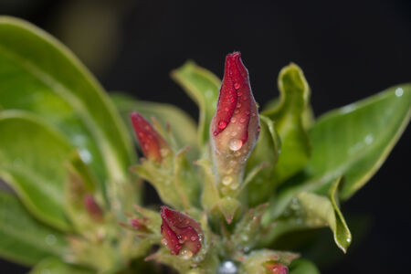 a new bloom of red desert roses photo