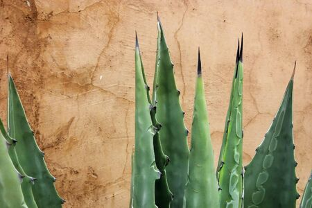 Agave cactus on brown stucco textured wall Stock Photo