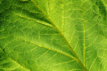 Leaf anatomy revealed Imagens
