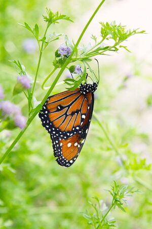 Butterfly on Eupatorium Blume.