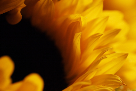 Tips of the petals of a large sunflower.