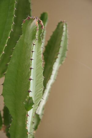 A cactus growing indoors has many thorned ridges. Archivio Fotografico