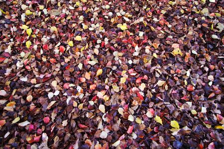 yellows: A blanket of autumn leaves on the ground, Many colors of wet fall colors. Stock Photo