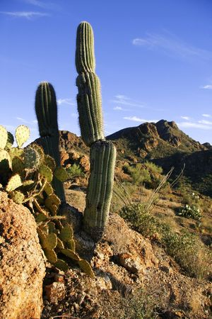 A cactus grows from a rock outcropping in the Sonoran desert Archivio Fotografico