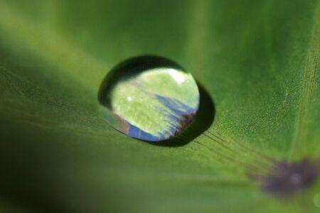 Water drip beading on hydrophobic tarot leaf