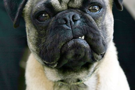 A pug dog snarls at the photographer
