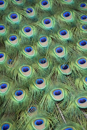 Full frame of colorful peacock tail feathers