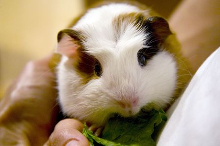 Young guinea pig having a snack of some lettuce while being held. Stock Photo