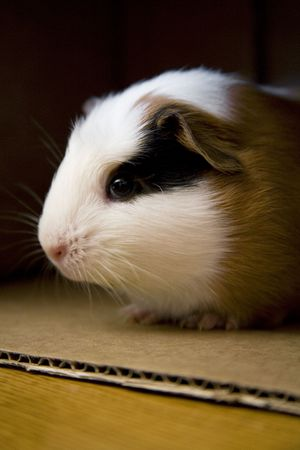 Young guinea pig inside cardboard box peeks out to see whats going on.