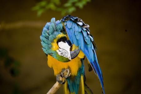 Eine bunte gelben und blauen Papagei auf einem Ast