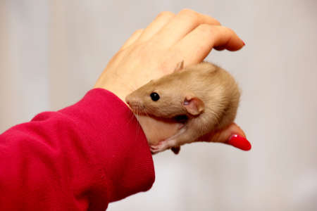 The female hand up holds a house rat. Little white rat in a woman's hands