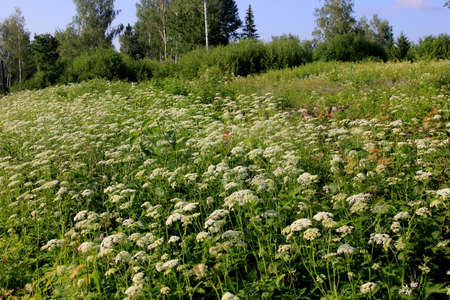 White Anthriscus sylvestris grows in the summer meadow. Cow parsley growing at the edge of a hay meadow