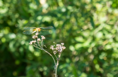 dryed: Dragonfly on dryed flower