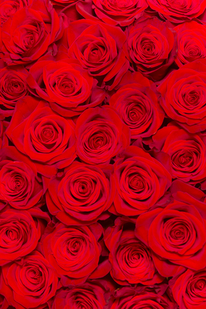 the wall of Beautiful red roses close-up Foto de archivo