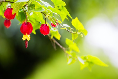 Abutilon megapotamicum. beautiful branch on green background Foto de archivo