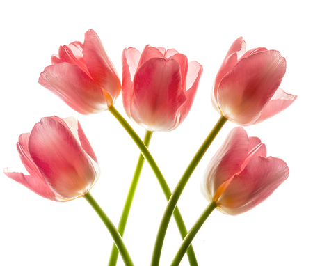 lucidity: Bouquet of pink tulips in bright backlight.