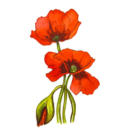Red poppy flower on a white background. Watercolor drawing