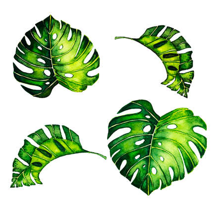 Tropical monstera leaves on white. Watercolor illustration