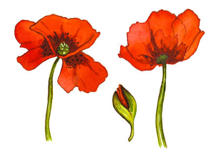 Set of red watercolor poppy flowers on white background Reklamní fotografie