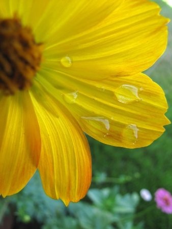 Yellow cosmo flower with water droplets in garden Stock fotó
