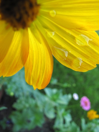 Yellow cosmo flower with water droplets in garden Stock fotó - 17501485