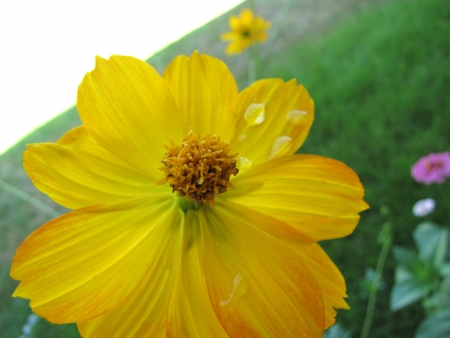 Yellow cosmo flower with water droplets in garden photo