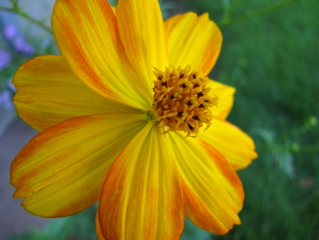 Yellow cosmo flower with streaks of orange photo