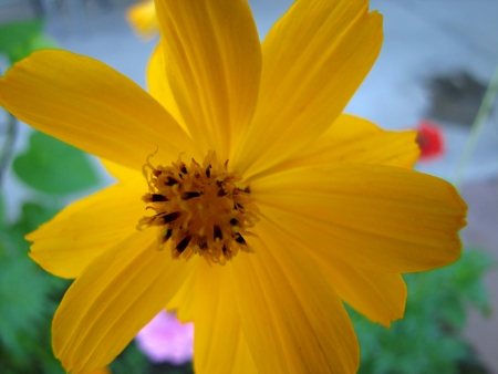 Yellow cosmo flower in summer garden photo
