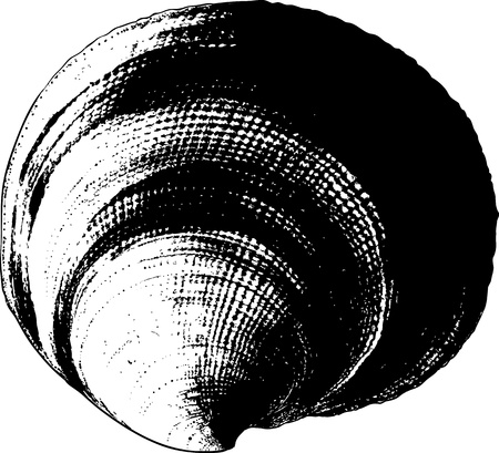 Shell drawn in view of the old prints on a white background Vector