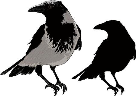urraca: Cuervo negro sentado detalles de la imagen y la silueta aislado en el fondo blanco