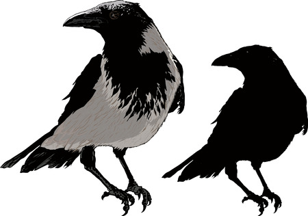 magpie: Seated black raven image detail and silhouette isolated on white background Illustration